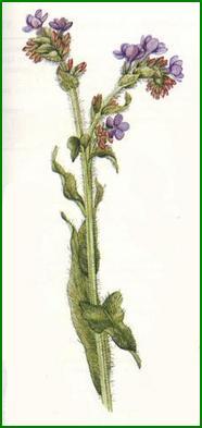 La bibliothèque de l'herboristerie Buglosse