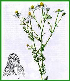 Le bureau de l\'herboriste - Page 2 Camomille2