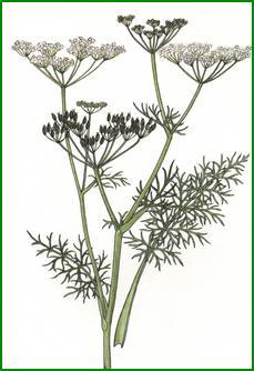 Des vertus des plantes par Macer Floridus, 1832 Cumin