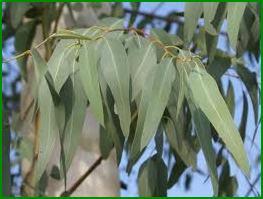 astuces veterinaire .fleur Eucalyptus2