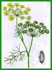 Des vertus des plantes par Macer Floridus, 1832 Fenouil