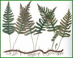 Fern Rhizome uses the dried rhizome