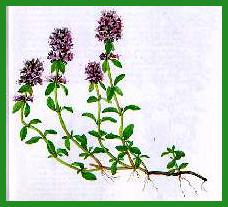 Des vertus des plantes par Macer Floridus, 1832 Serpolet