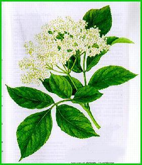 http://www.lepetitherboriste.net/herbier/sureau.jpg