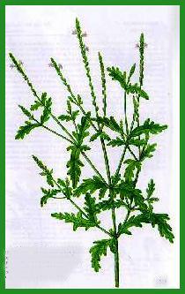 Verveine for Plante verveine