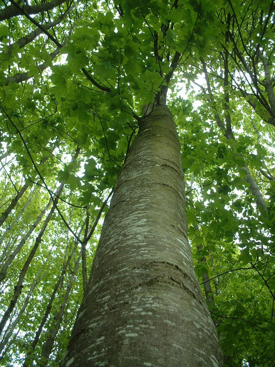 Exemple le hetre sur le site arbres http www lesarbres fr hetre html