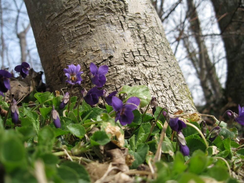 Violette Viola Flowers