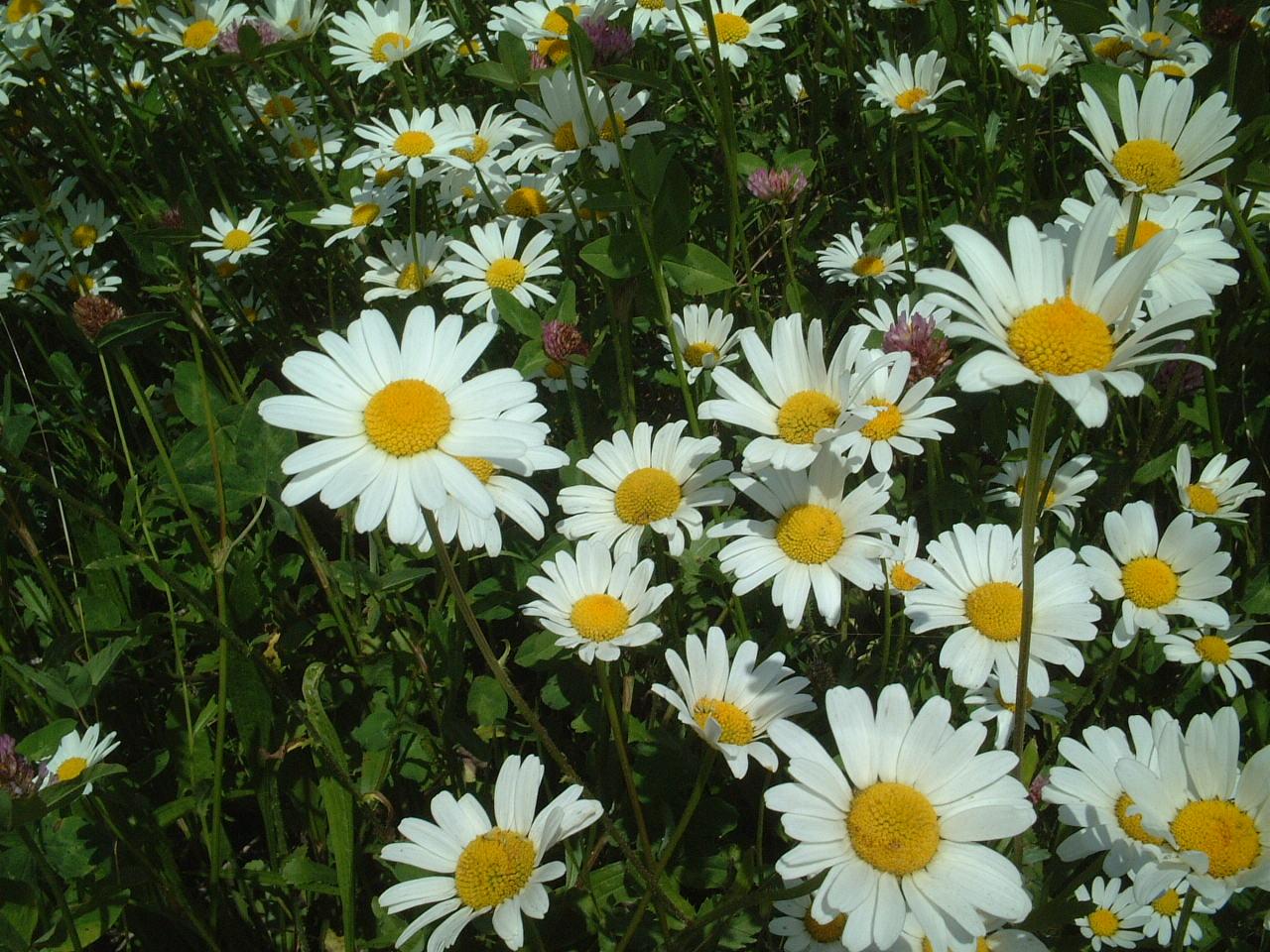 Macro Of Marguerite Daisy Flower Stock Photo - Image of